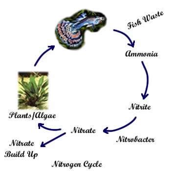 Freshwater Aquarium Biological Cycle